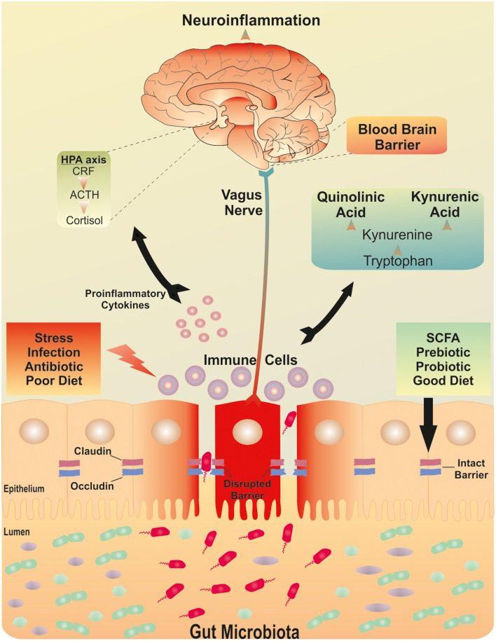 The Brain-Gut Microbiota Axis Image 1