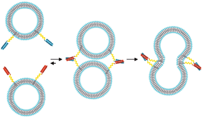 Schematic-illustration-of-liposome-fusion-mediated-by-simple-SNARE-protein-mimics